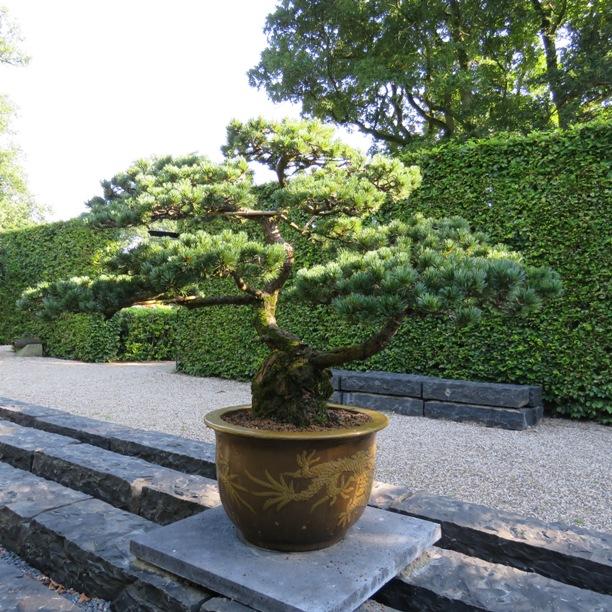 Japanse Witte Den Bonsai Nvbt